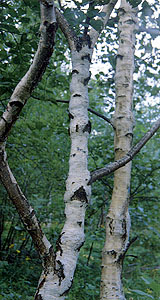 1990's. Karelian Birch