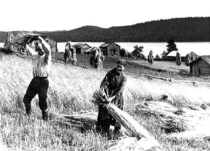 1930's. Reaping the harvest